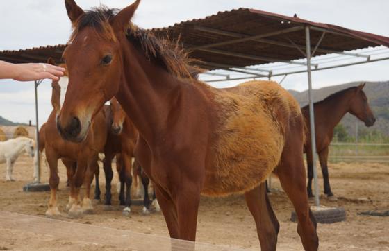 Reiten im Norden von Alcudia Mallorca 08