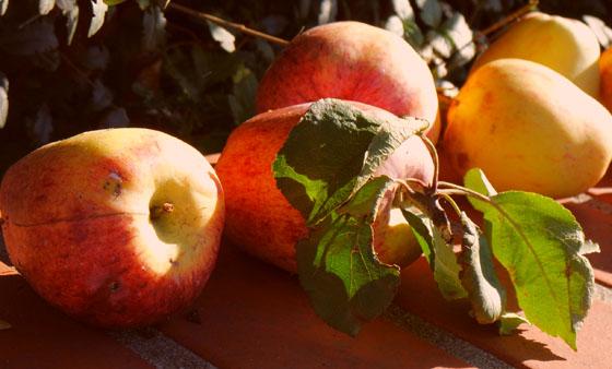 Äpfel-im-Oktober-Herbst-Gold