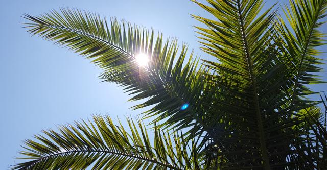 Albufera Palme
