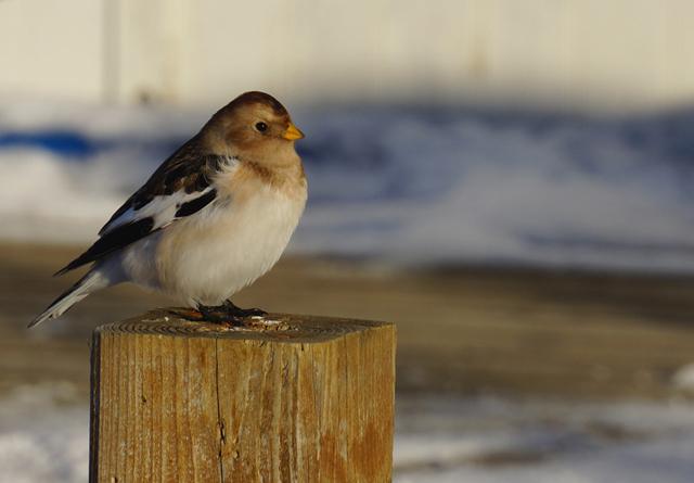 Kleiner Vogel auf Island